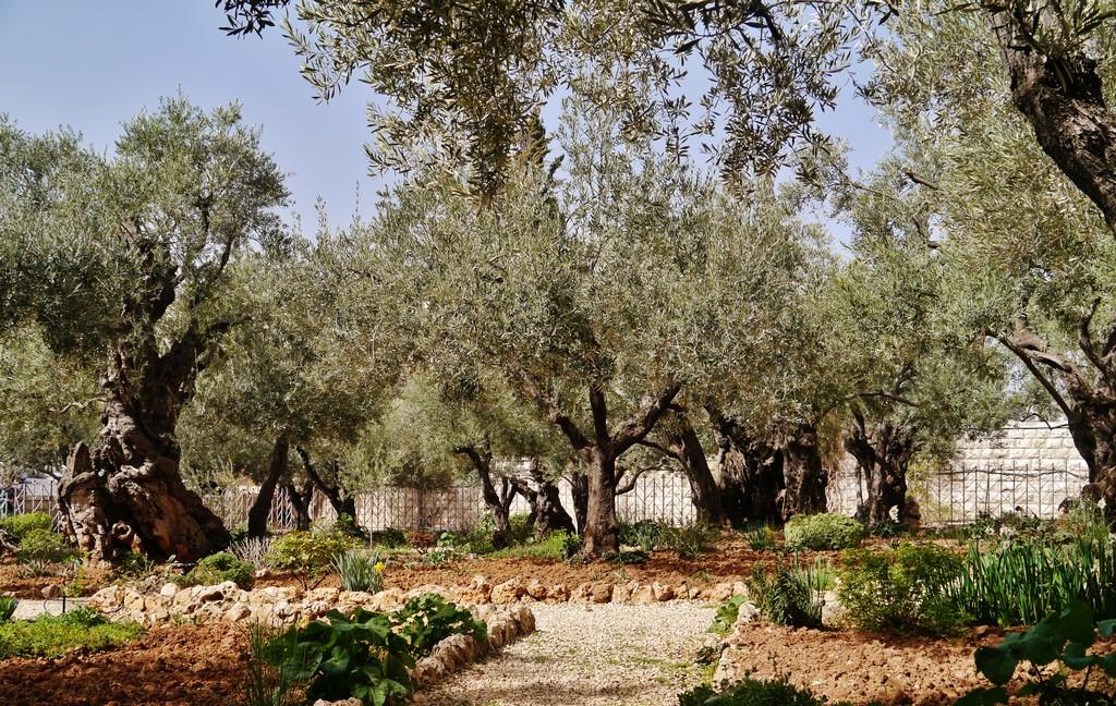Filejerusalem Garten Gethsemane 2 Wikimedia Commons pertaining to dimensions 4592 X 2908