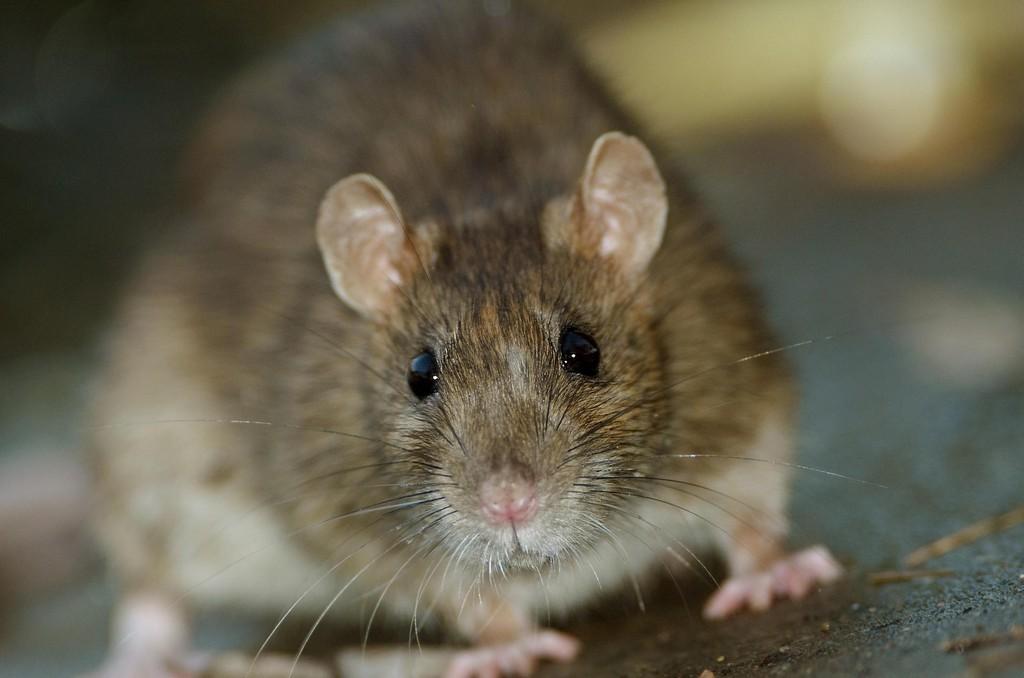 Ratten Bekmpfen Und Vertreiben Tipps Gegen Ratten Im Haus for sizing 1920 X 1271