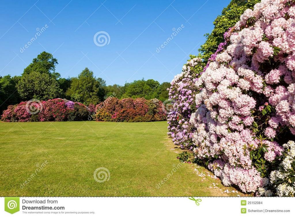 Rhododendron Blumen Bsche Und Bume In Einem Garten Stockfoto within dimensions 1300 X 957