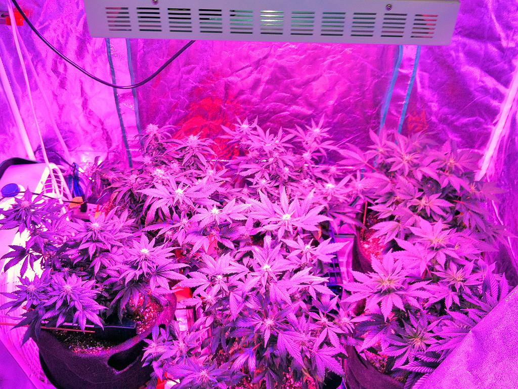 Cannabis Samen Bestellen Cannabis Anbau Lichtbeleuchtung Deiner with size 1024 X 768