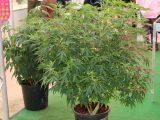 Ab Wann Hanf Outdoor Pflanzen Hier Die Antworten for measurements 2400 X 1688