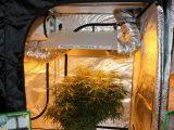 Welches Lichtspektrum Fr Hanf Beim Indooranbau with sizing 1800 X 1200